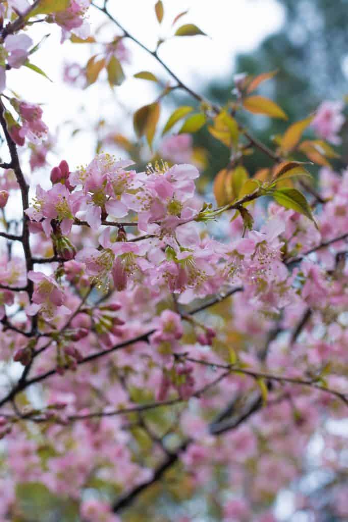 Shillong Cherry Blossom Festval