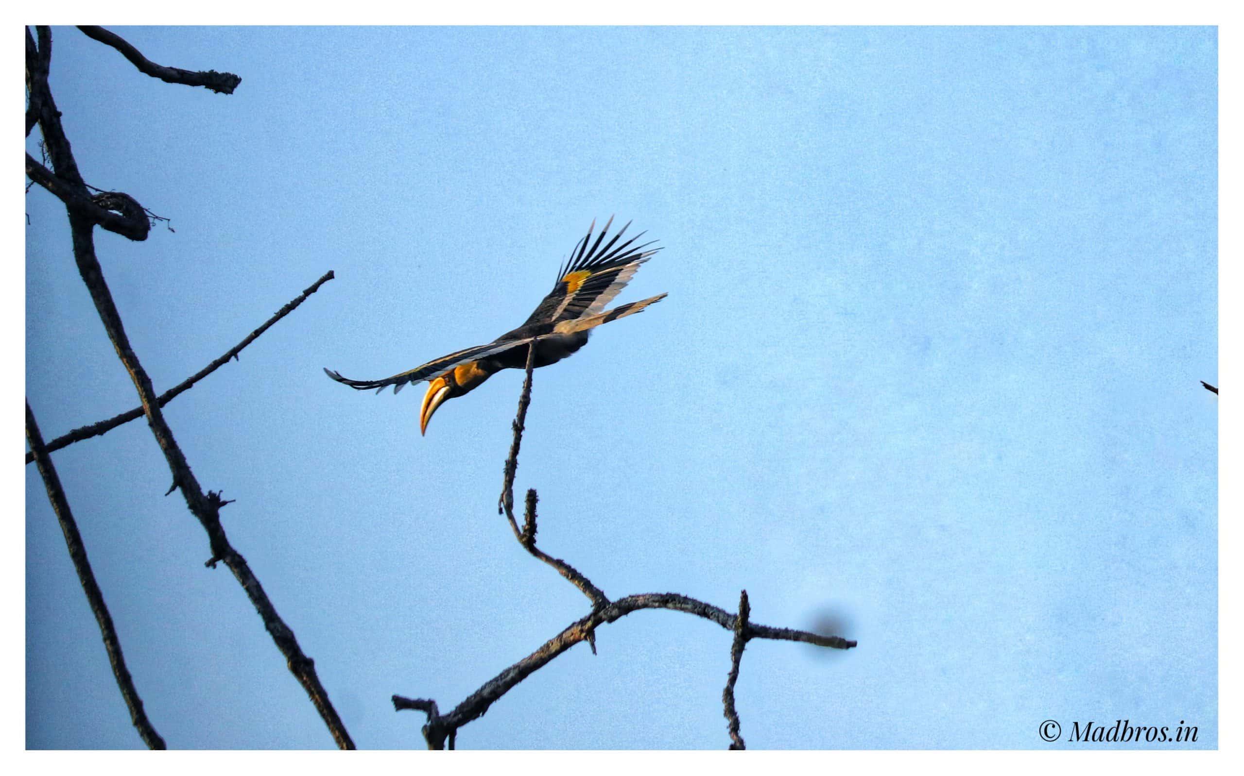 great Indian hornbill